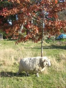 sheep.tw